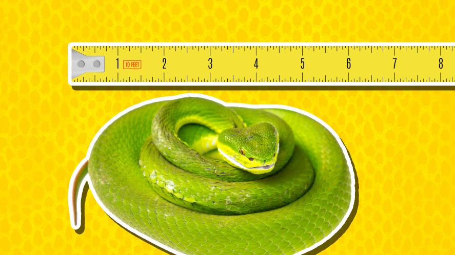 A tape measure next to a coiled viper
