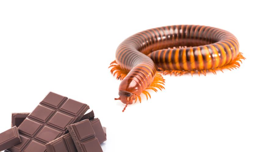 A millipede approaching a bar of chocolate
