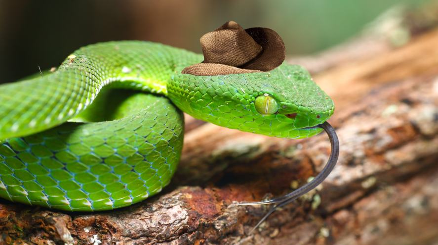 A pit viper wearing a fetching cowboy hat