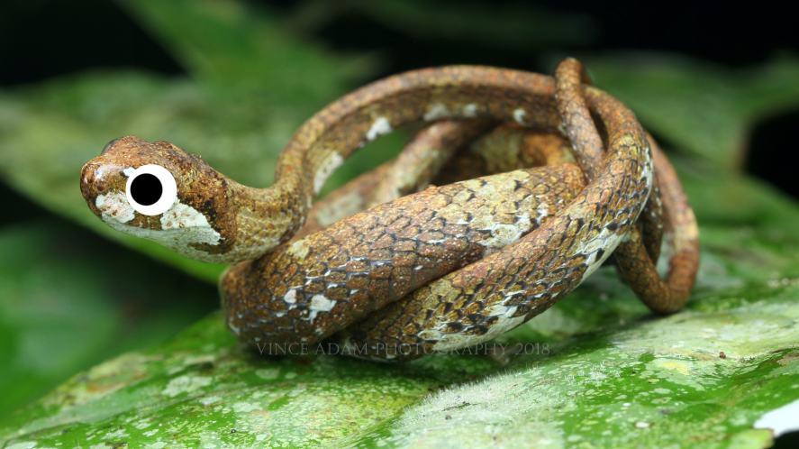 A blunt-headed slug snake
