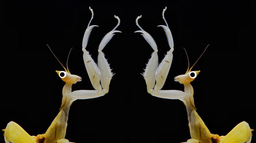 Orchid Praying Mantis giving each other a high five