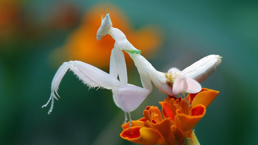 Orchid Praying Mantis