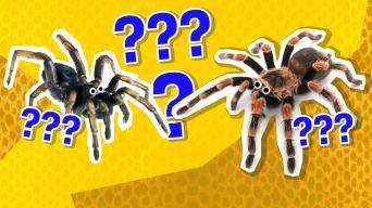 Tarantula quizzes