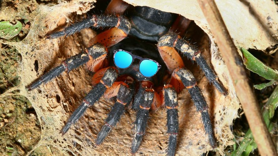 A trapdoor spider wearing sunglasses