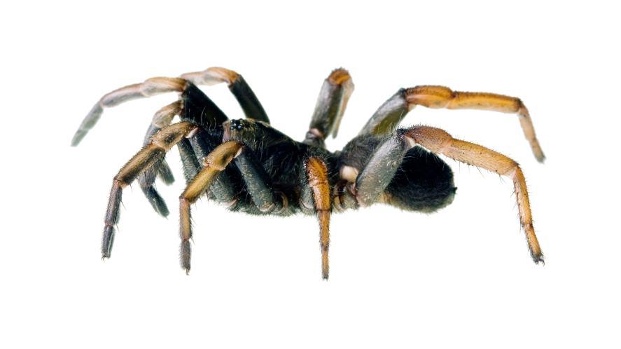 A trapdoor spider