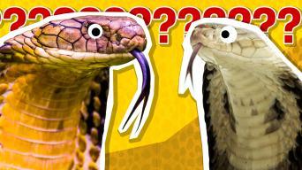 Cobra quiz