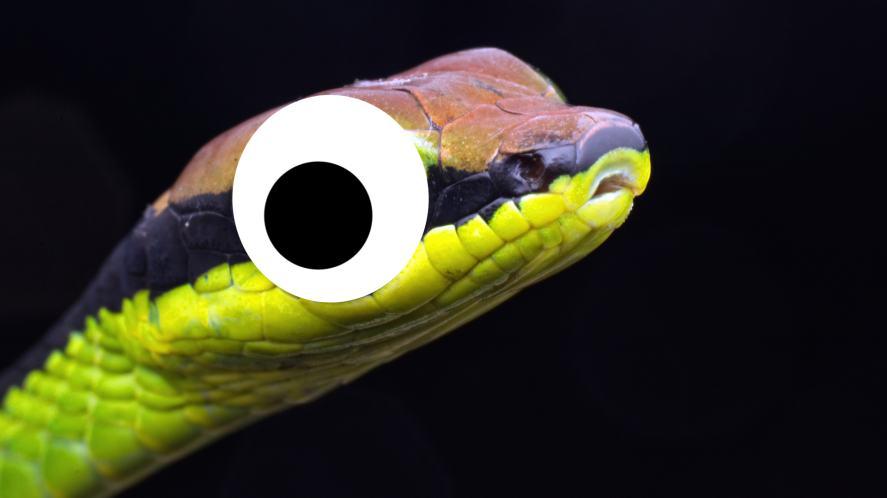 Bronzeback snake