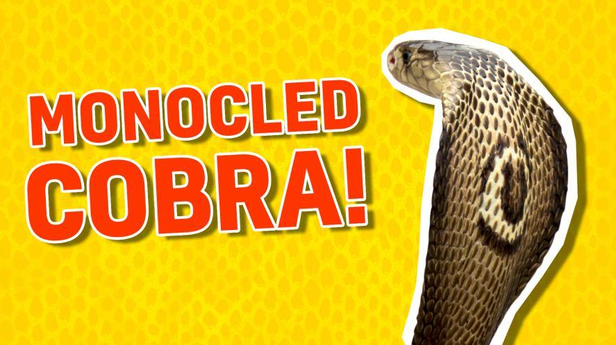 A monocled cobra