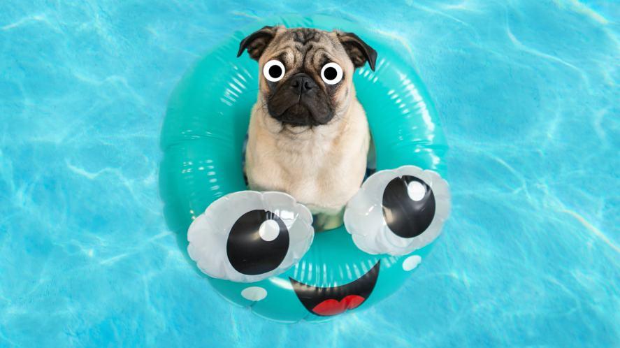 A pug in a pool