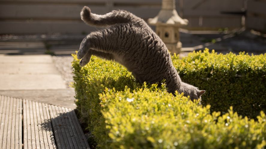 A cat jumping over a small hedge