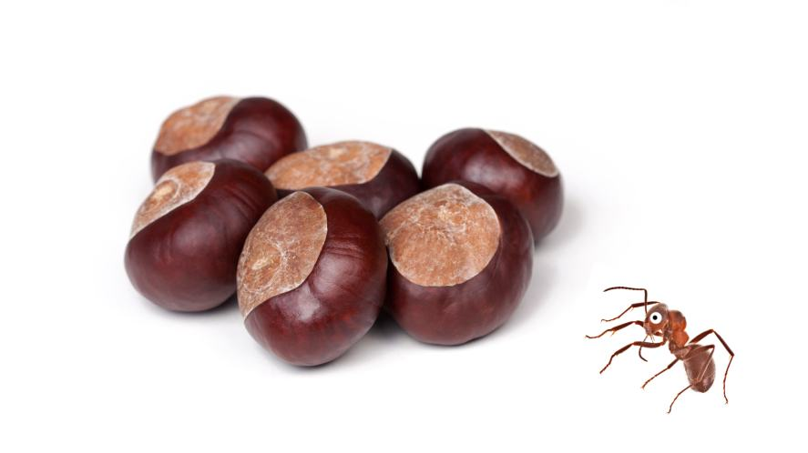 An ant next to a pile of conkers