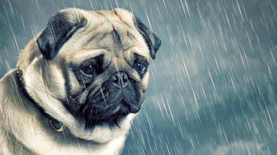 A sad pug