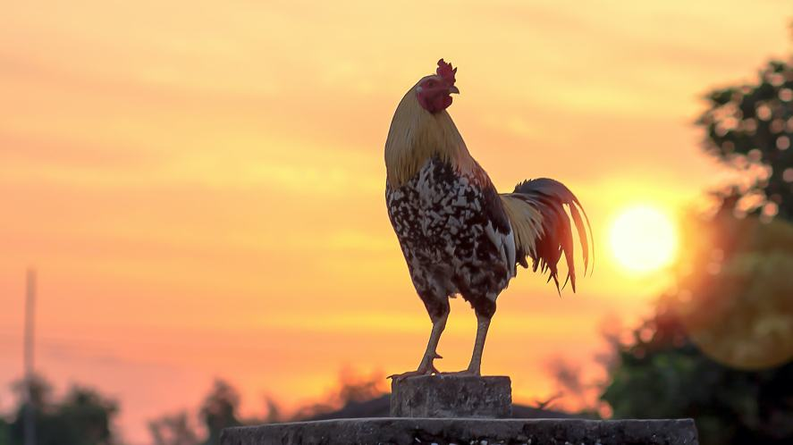 A rooster at sunrise