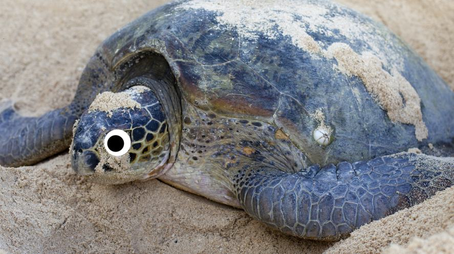 A sea turtle laying eggs