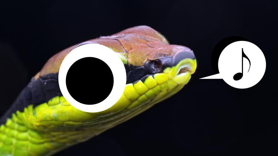 A whistling snake