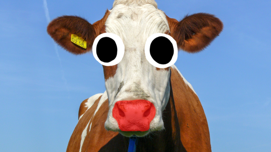 A cow with a red nose