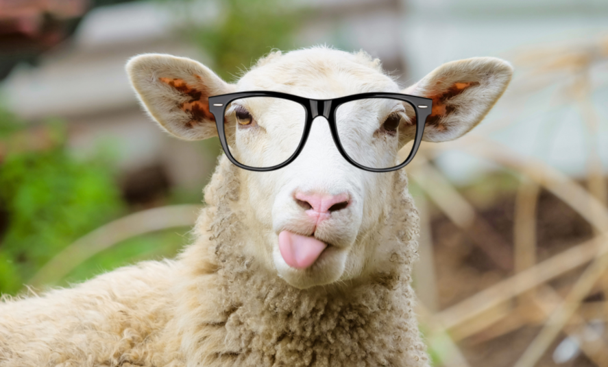 Bespectacled Sheep