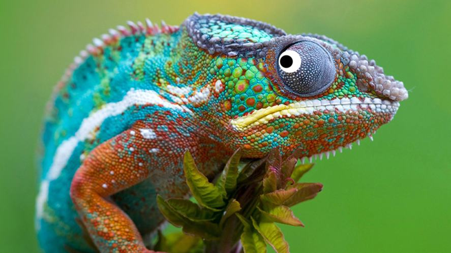 An ectothermic chameleon