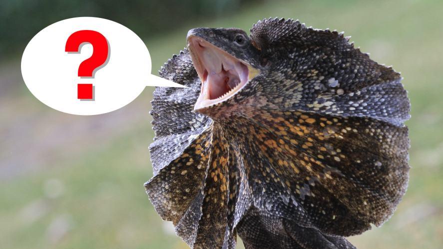 A frilled dragon lizard