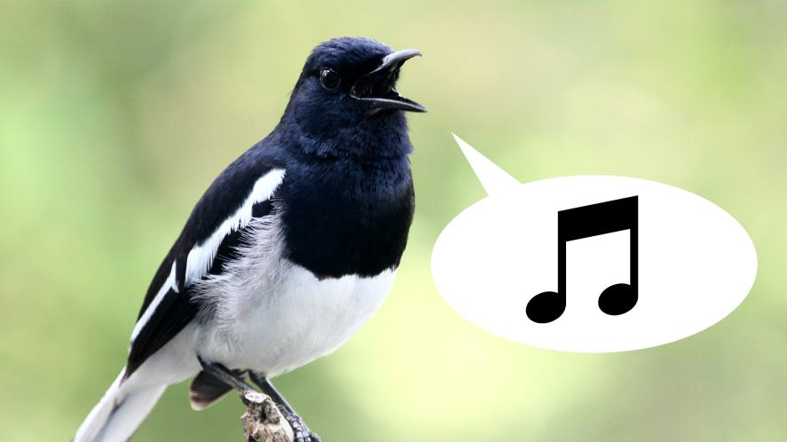 A singing magpie