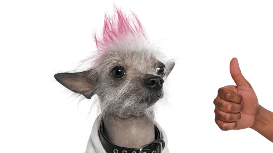 A punk dog