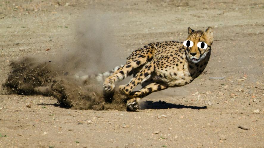 A sprinting leopard