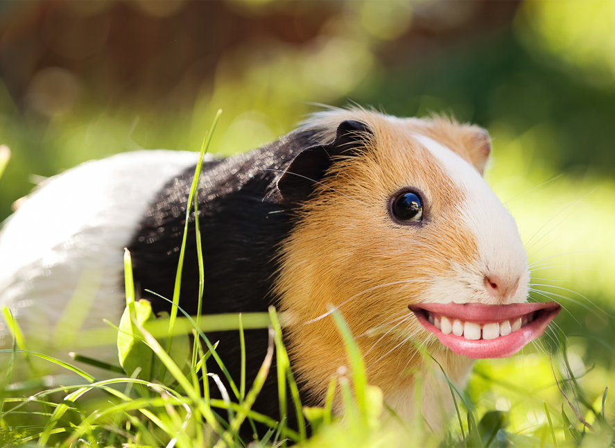 Guinea Pig With A Smile