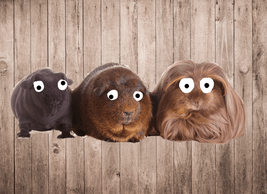 Three Guinea Pigs On A Wooden Background