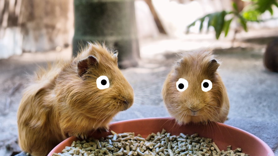 Two Guinea Pigs Eating