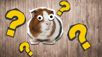 Guinea Pig and question marks on wooden background