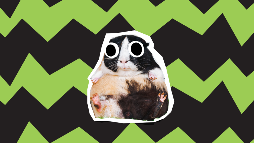 guinea pig on striped background