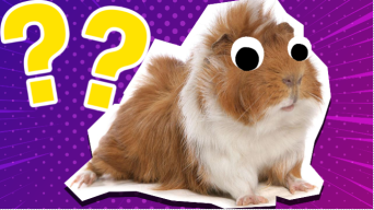 Guinea pig and question marks