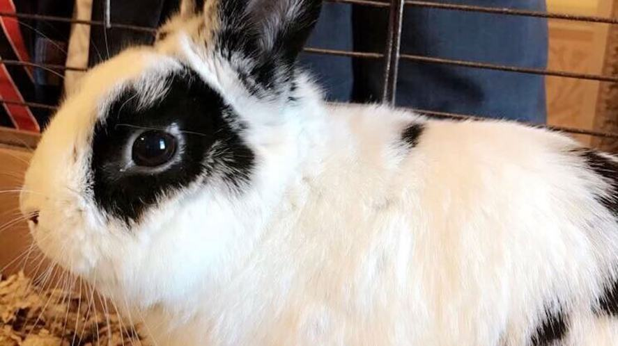 A black and white rabbit