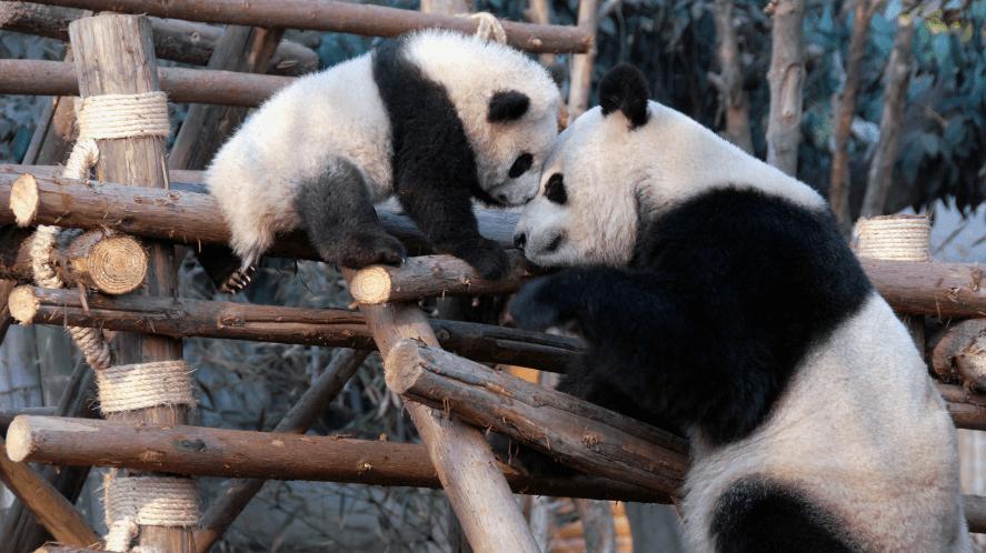 Baby panda and parent