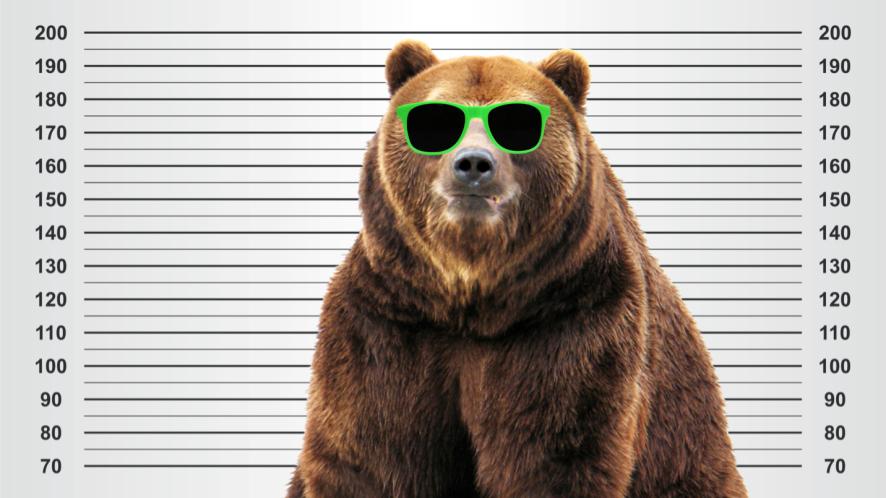 A big North American brown bear