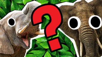 Elephant quiz thumbnail