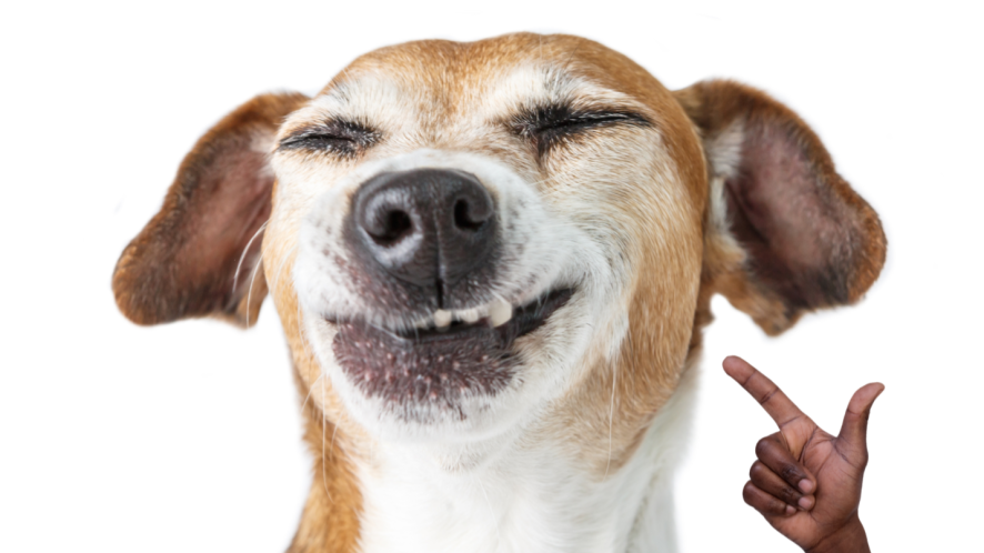 A dog smiling for the purpose of this quiz