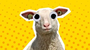 Sheep Jokes
