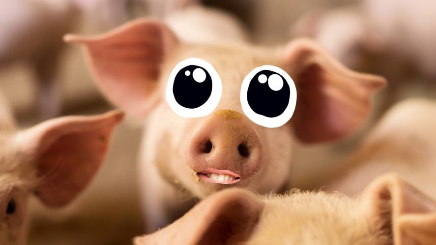 Pig with googly eyes