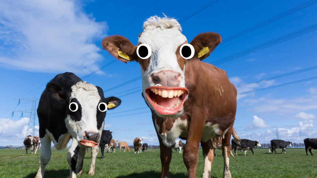 Cow laughing