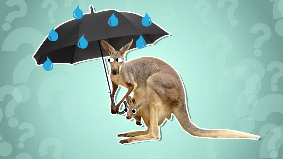 A kangaroo and her joey