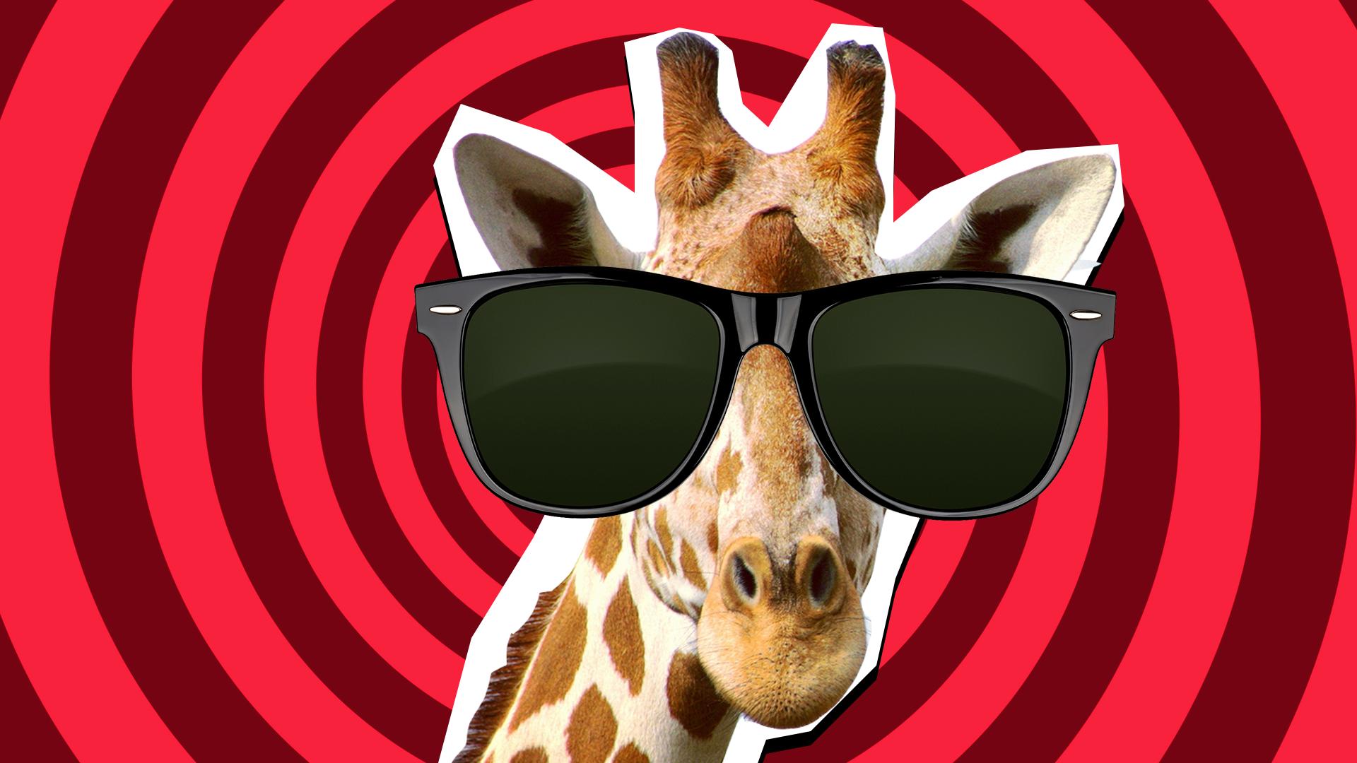 Giraffe wearing sunglasses
