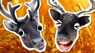 Reindeer Jokes