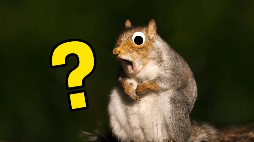Surprised looking squirrel on grey background