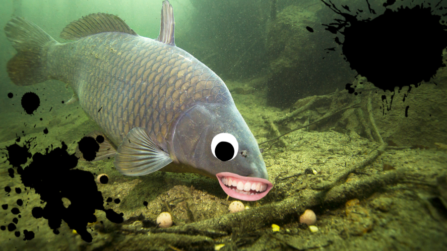 Carp fish in river