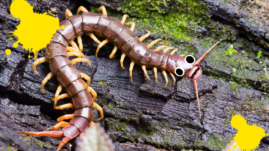 Centipede on log