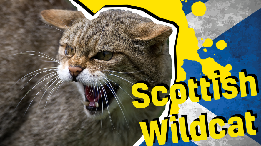 Scottish Wildcat result