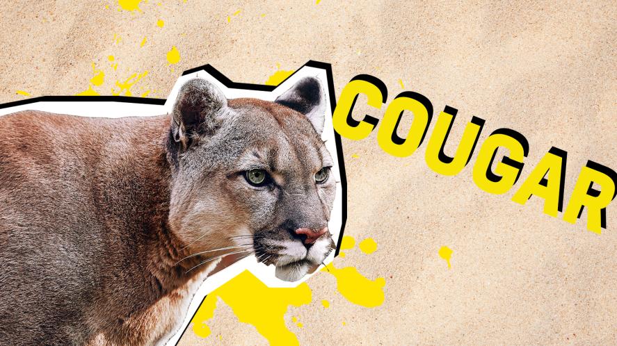 Cougar result thumbnail