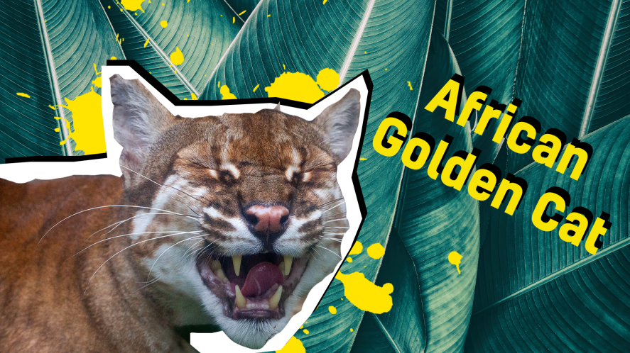 African golden cat thumbnail