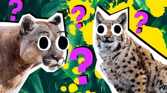 Wildcat Quiz Thumbnail